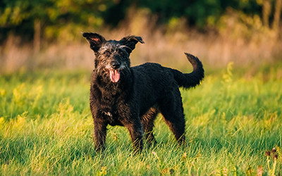 CBD Oil for Senior Dogs